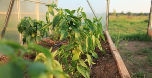 Перец: выращивание и уход в теплице