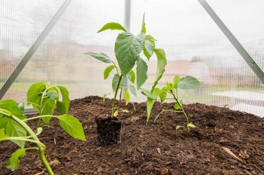 Выращивание перца в грунте