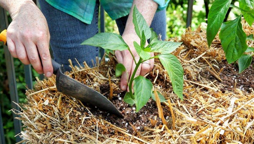 Выращивание перца на соломенных тюках