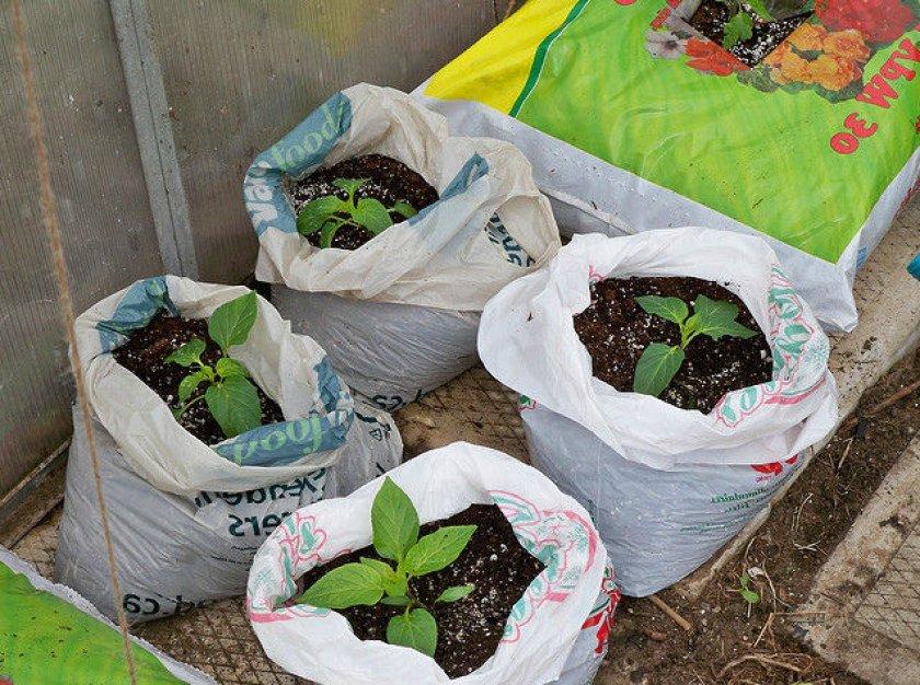 Выращивание перца в мешках