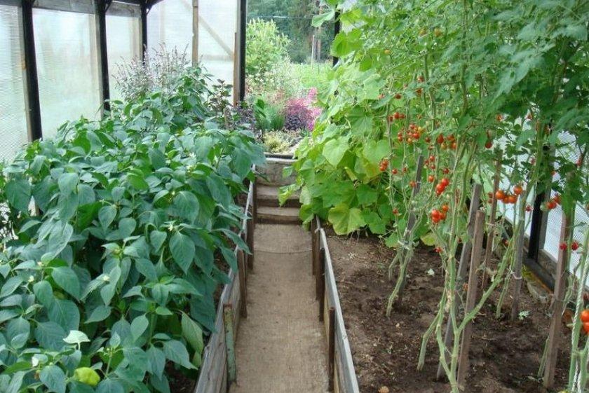 Перец и помидоры в теплице