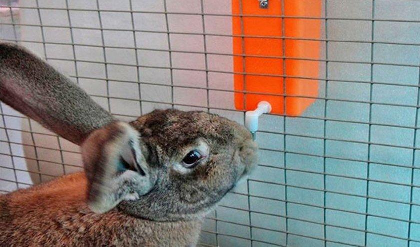 Кролик пьют воду