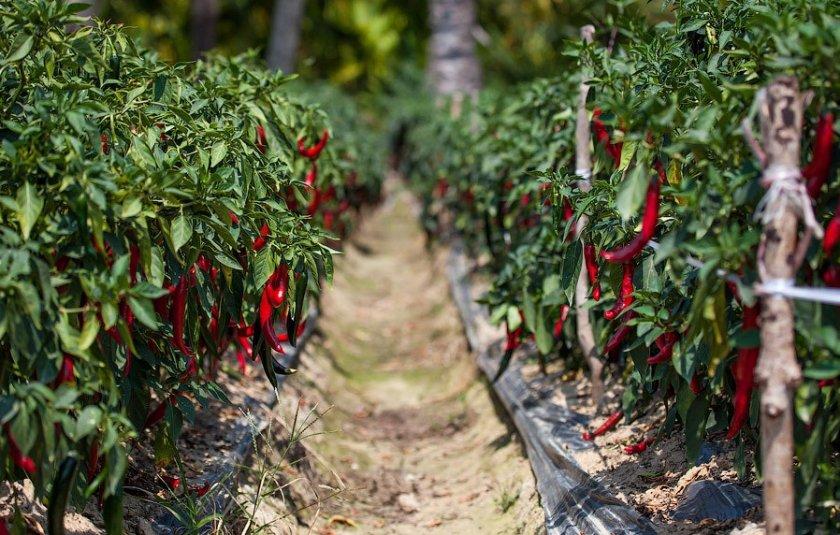Посадка и выращивание горького перца