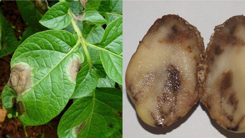 Фитофтороз (бурая гниль) картофеля