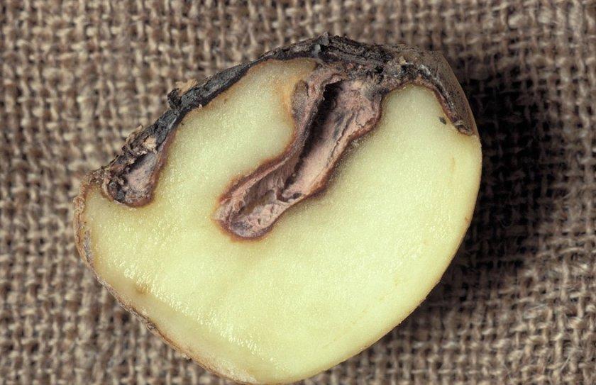 Фомоз (чёрная пятнистость) картофеля