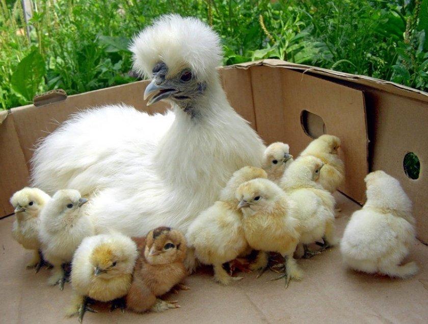 Китайские шёлковые цыплята