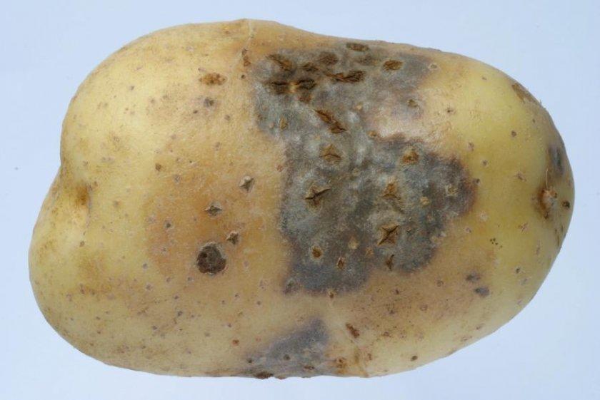Некроз клубней картофеля