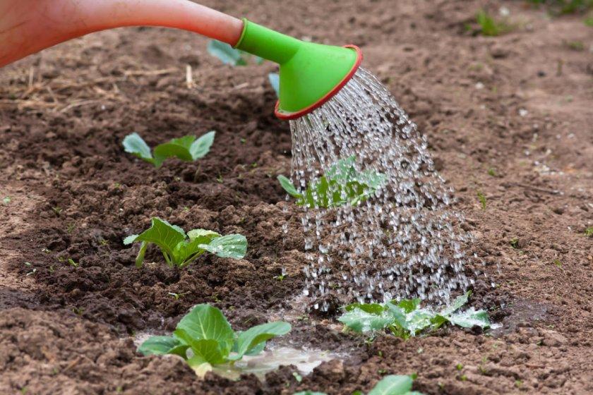 Особенности полива капусты