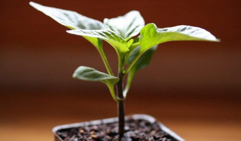 Почему не растет перец