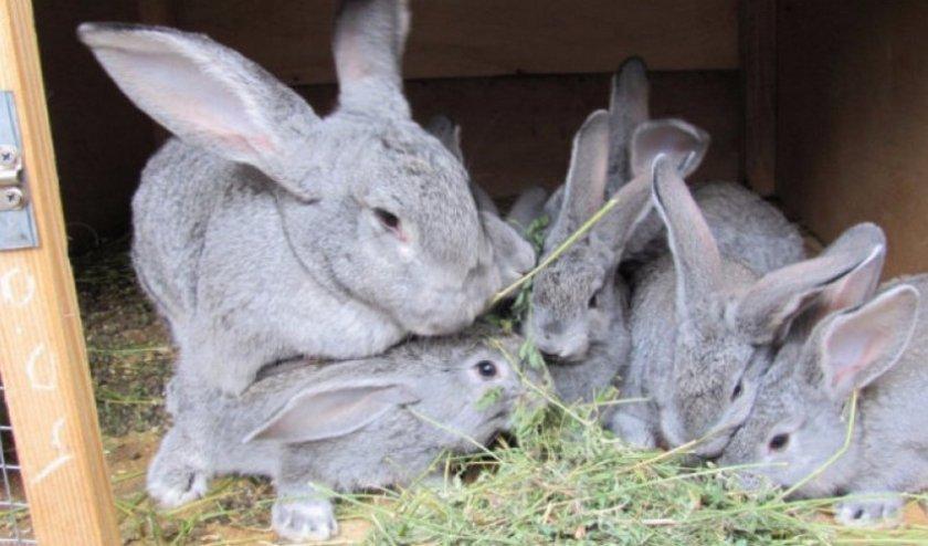 Шиншилловый кролик