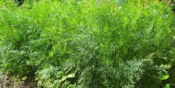 Укроп однолетнее или многолетнее растение