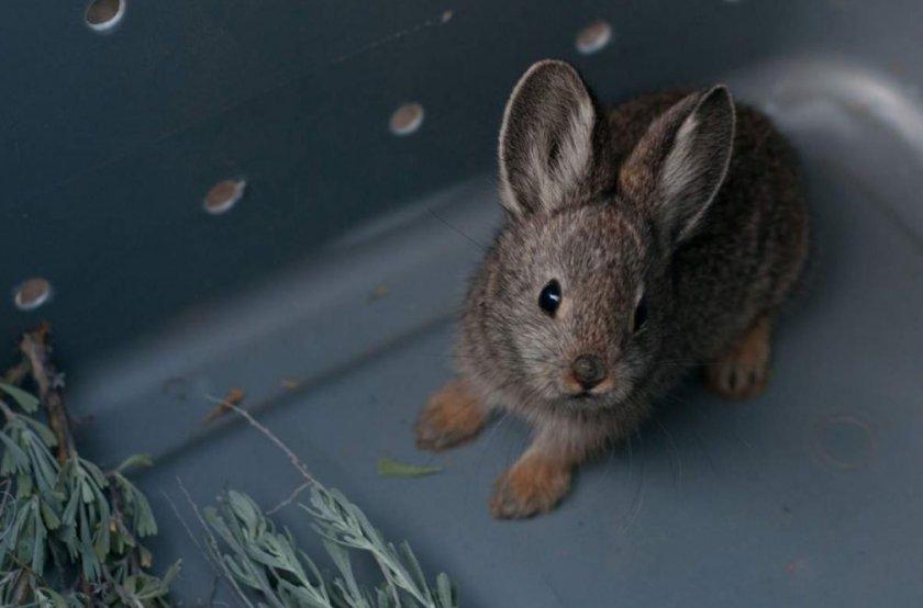 Кролик ест полынь