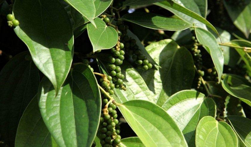 Выращивание черного перца