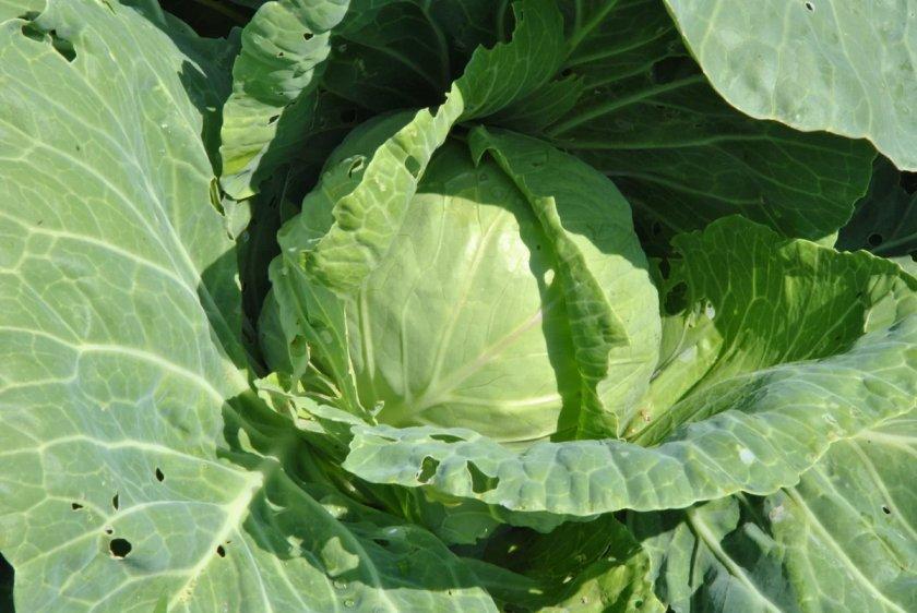 Агротехника выращивания сорта
