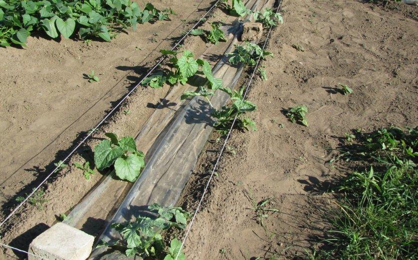 Описание и характеристики дыни Колхозница