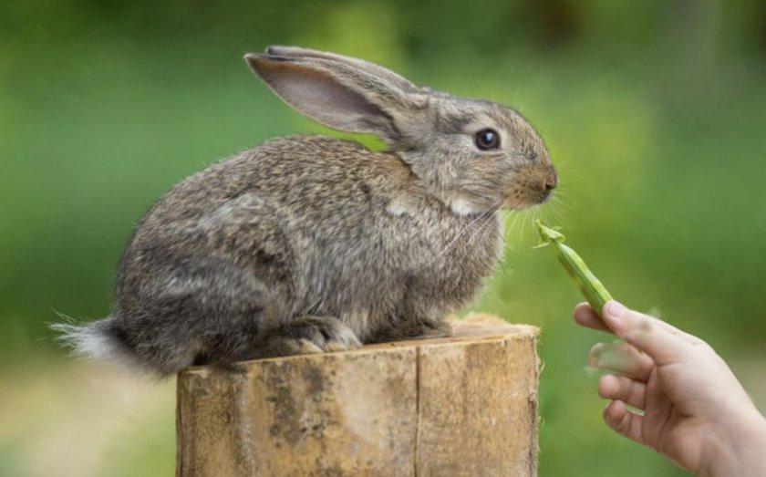 Горох для кроликов