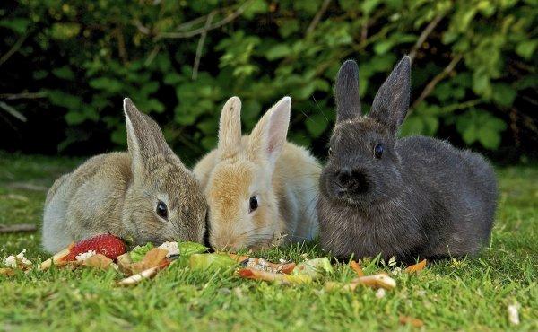 Едят ли кролики каштаны