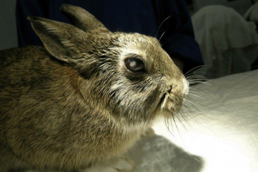 Катаракта у кролика