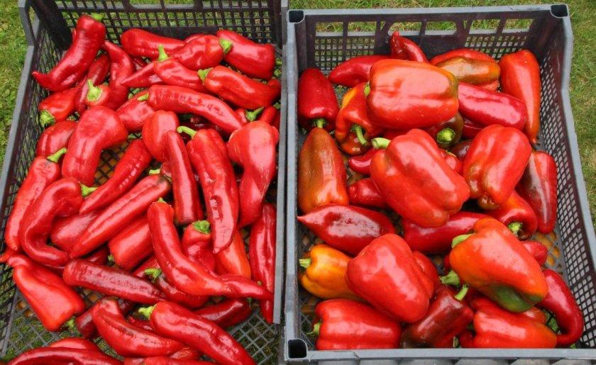Сбор урожая перцев