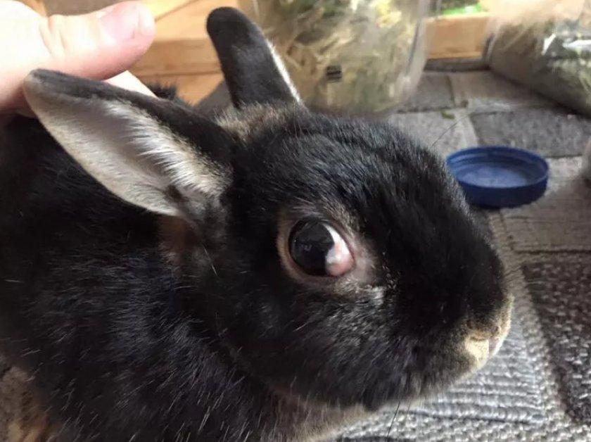 Глаукома у кролика