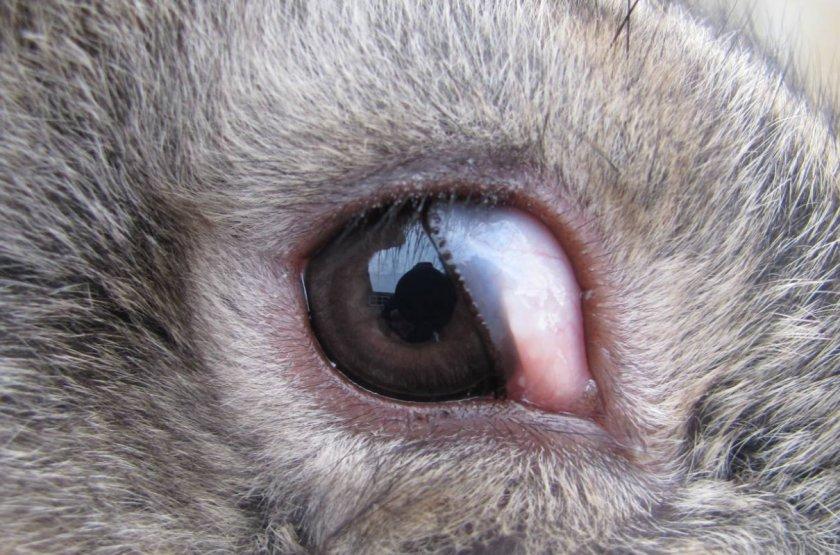 Окклюзия роговицы у кролика