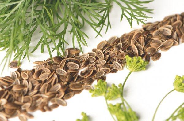Настой из семян укропа: от чего помогает, показания к применению, рецепты