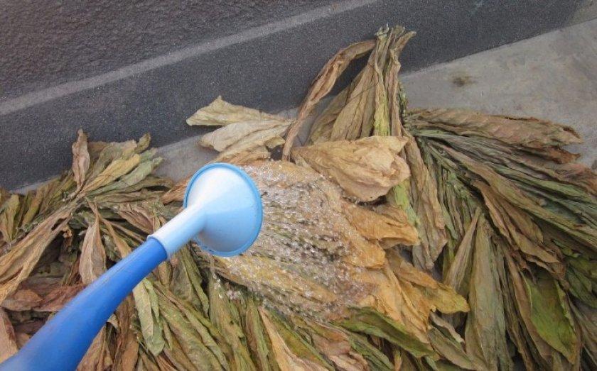 Что делать с табаком после ферментации