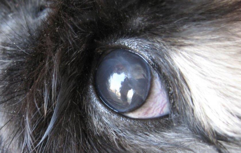 Покраснение вокруг глазу кроликов thumbnail