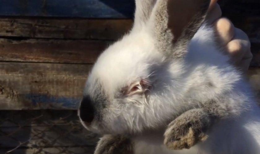 Язва роговицы у кролика