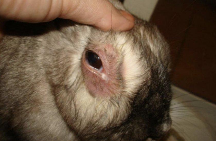 Эпифора у кролика