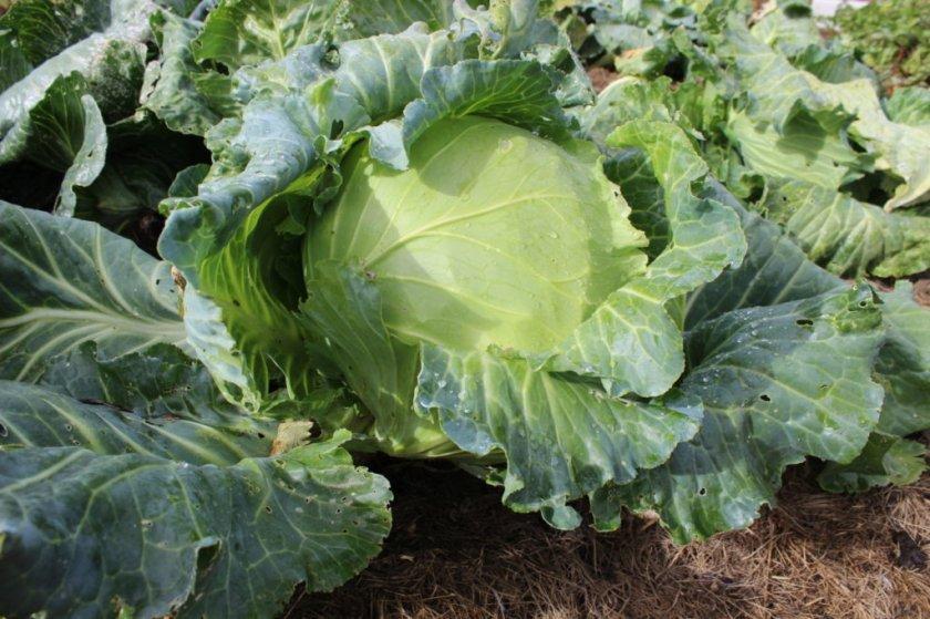 Выращивание капусты сорта Колобок