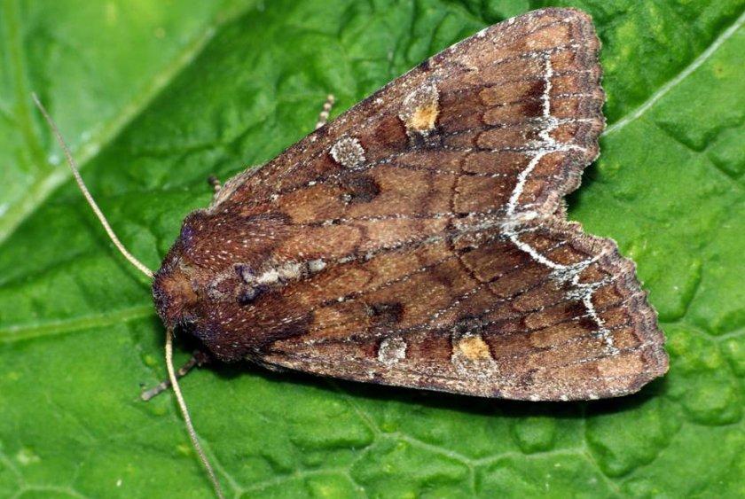 Бабочка-совка