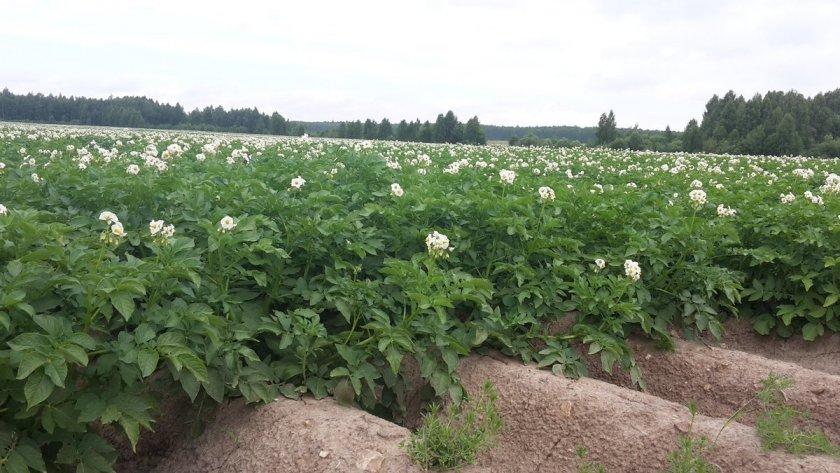 Описание и характеристика картофеля