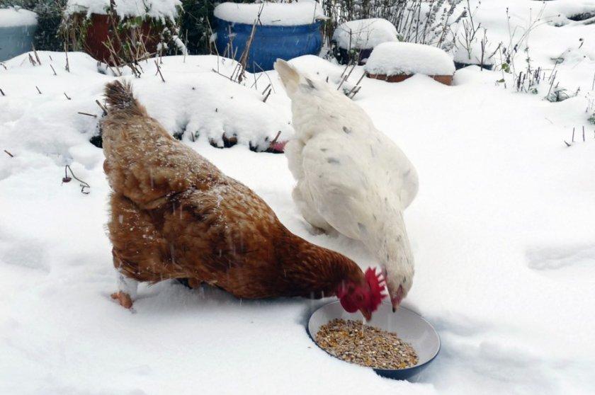 Кормление кур зимой