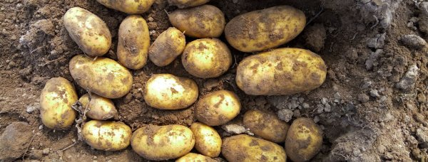 Картофель джамала