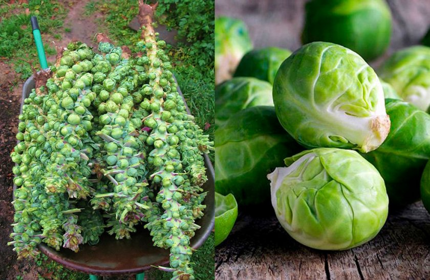 Урожай брюссельской капусты