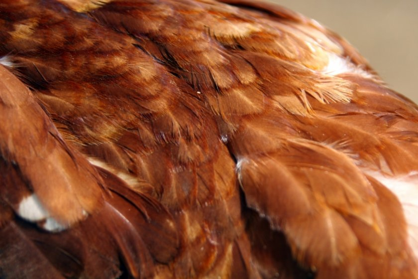 Оперение курицы