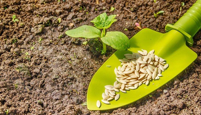 Посев семян в открытый грунт