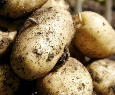 Картофель сорта Ласунок: характеристика и методы выращивания