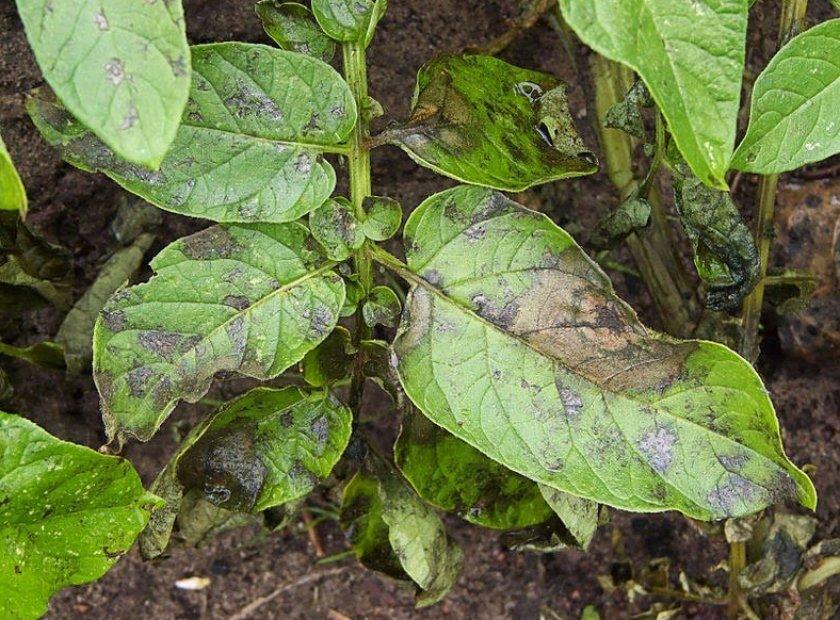 Пятна на листьях картофеля