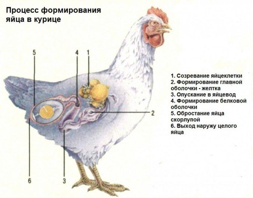 Процесс формирования яйца