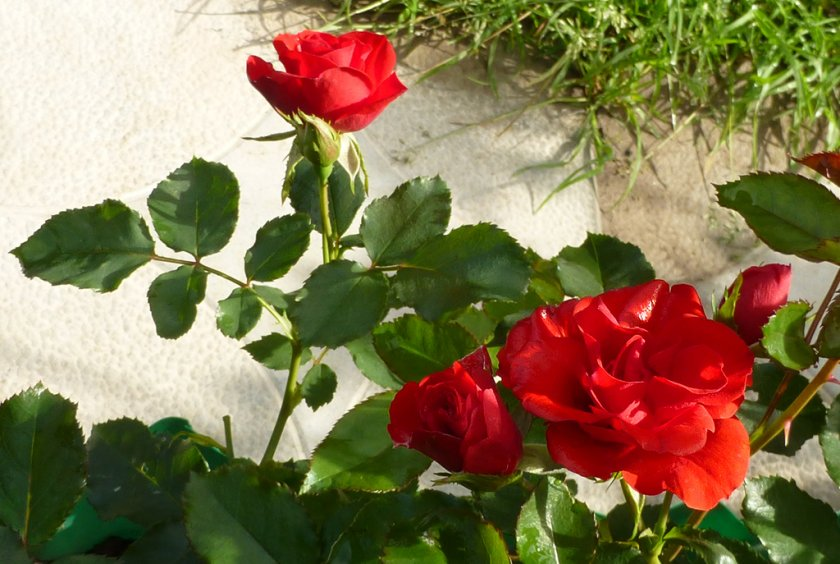 Как пересаживать розы Скарлет