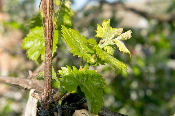 Сколько растет виноград до плодоношения