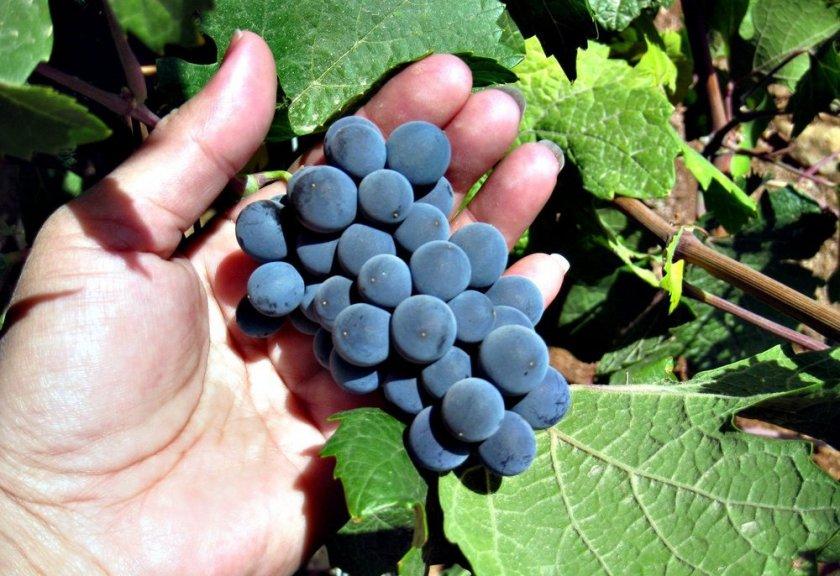 Когда начинает и через сколько времени плодоносит виноград