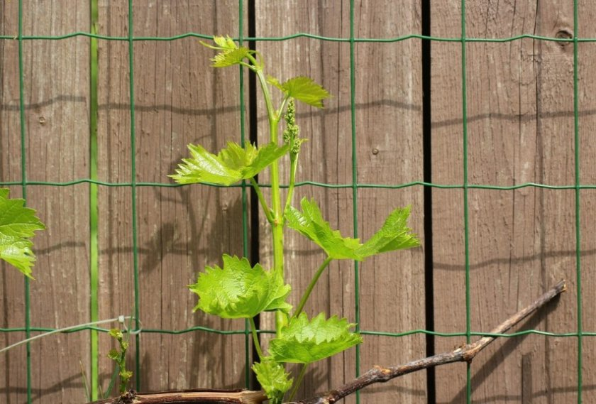 Почему виноград не плодоносит: основные причины