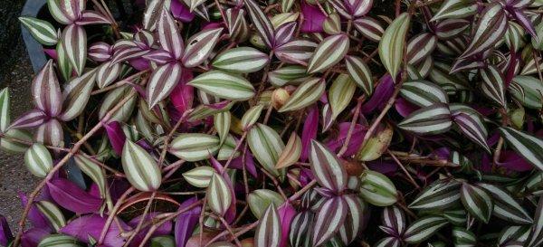 Зебрина- выращивание и уход в домашних условиях