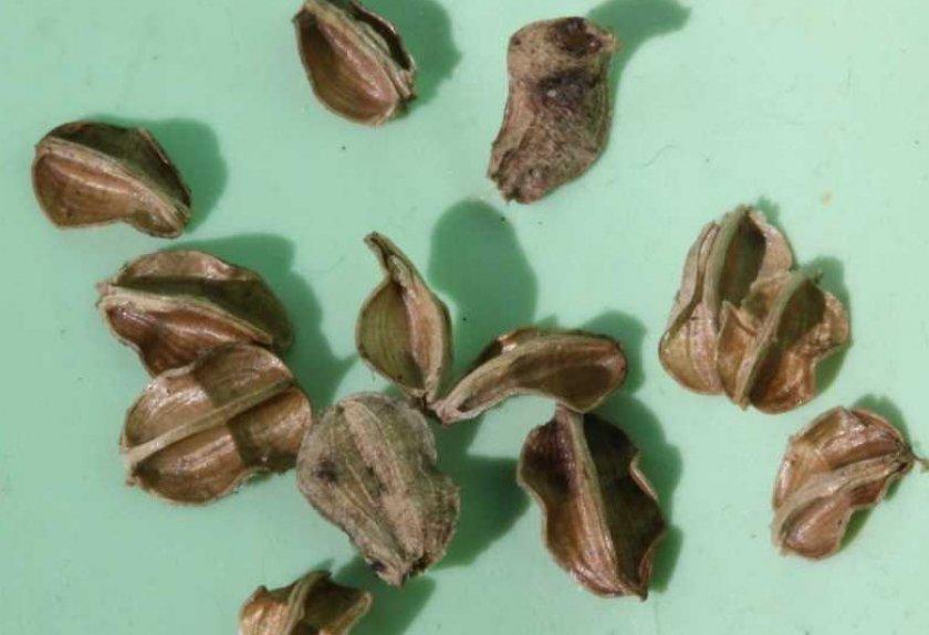 Семена традесканции
