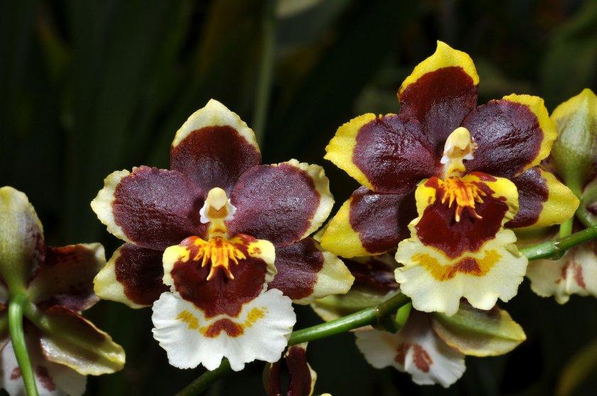 Полив орхидеи онцидиум