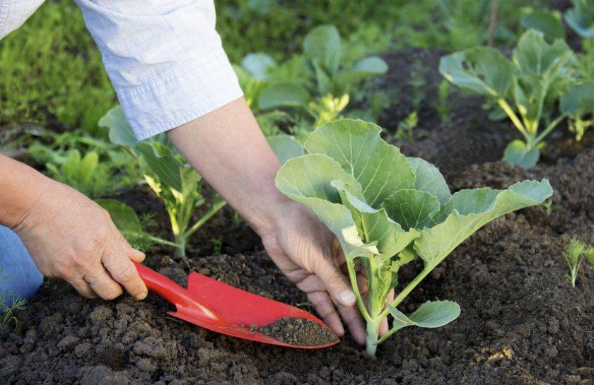 Удобрение капусты