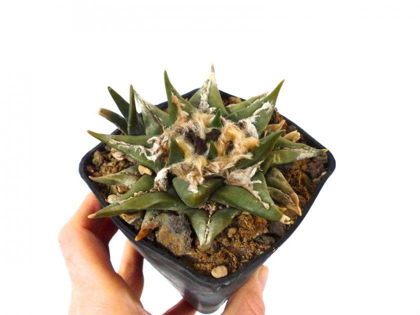 Выращивание и уход за растением в домашних условиях